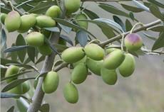 油橄榄嫁接